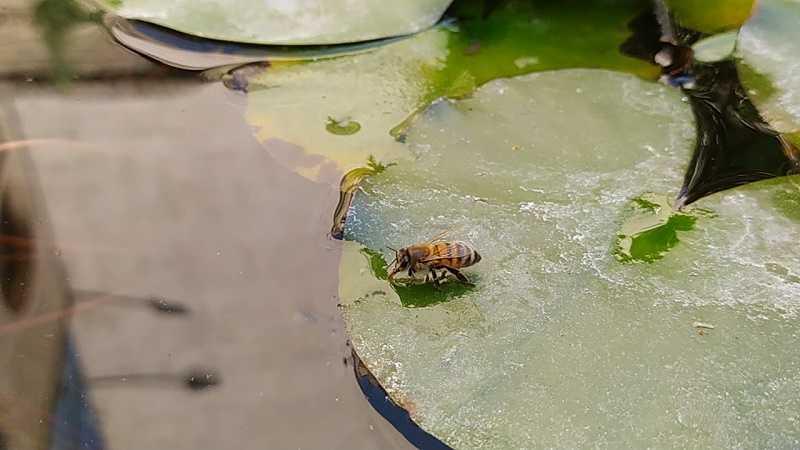 زنبور عسل طلایی شگفت انگیزی است